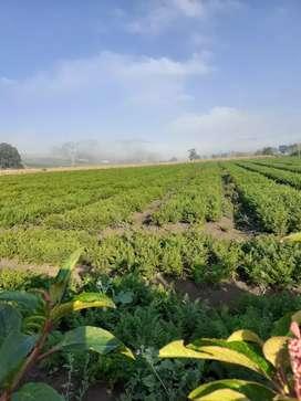 Socio inversionista  siembra hortalizas