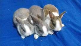 Conejos Enanos y Holland Lop