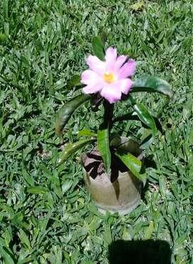 Plantin de Pereskia