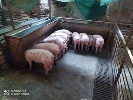 Cerdos de granja