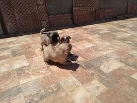 Hermosos Bb's Pug