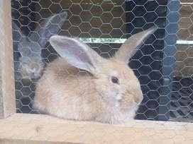 Vendo conejos de cualquier edad muy economicos