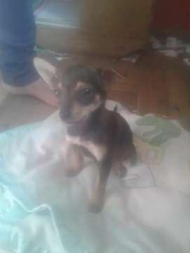 Se vende linda cachorita