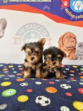 Yorkshire terrier mini soga