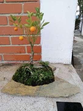 Se Vende Bonsai Calamondin Naranja