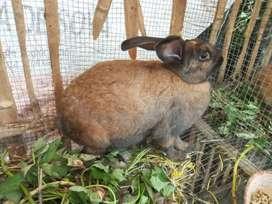 Se vende conejos de cria y carne