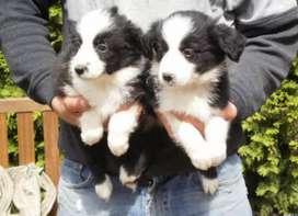 Últimos cachorros border collie