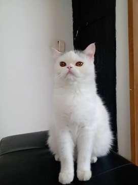 Se vende gato exótico