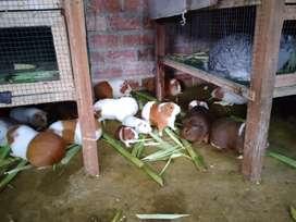 Venta de cuyes, conejos y patos.