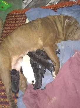 Perros sharpei puros negros 4 machos  y 2 hembras negras y una hembra crema