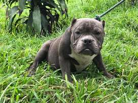American bully macho pedigree exotico