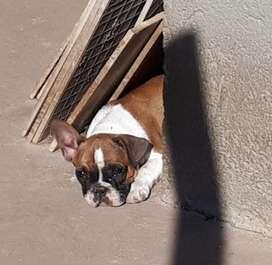 Bulldog Francs Cachorros en Venta