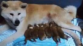 Cachorros Akita Inu Japonés
