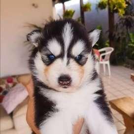 El mejor compañero de vida husky siberiano