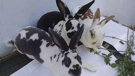 Conejos disponibles