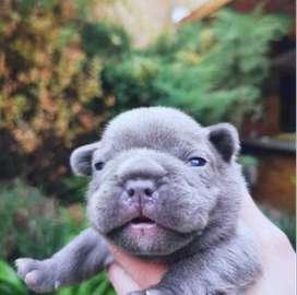 Bulldog frances, los mejores colores, eoticos, 77 dias de edad.