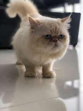 Monta de Gato