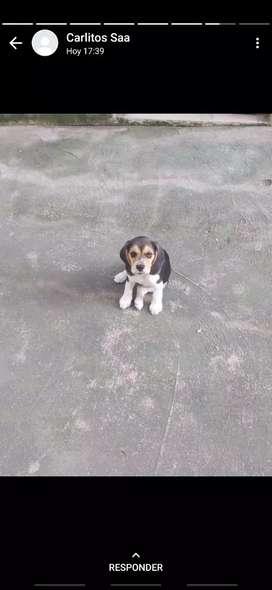 Cachorrita Beagle