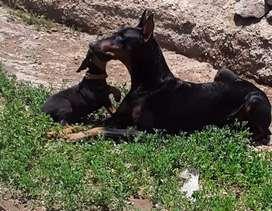 Reservas  cachorros doberman