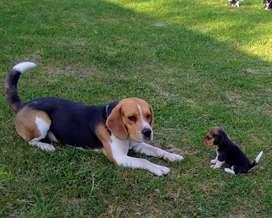 Beagles para servicio