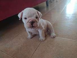 Bulldog ingles bellos