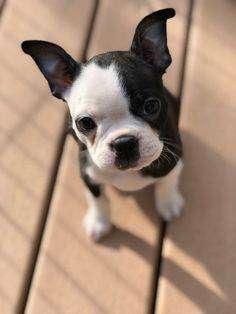 Boston Terrier 58 dias