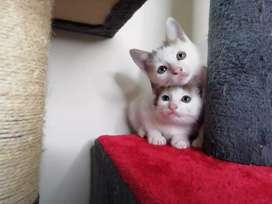 Gaticos bicolor