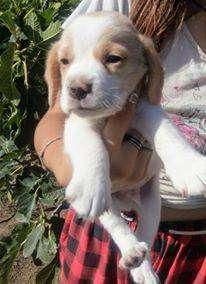 cach. beagle excelente pedigree con pap de FCA 0