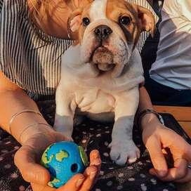 bebes bulldog ingles de 56 dias certificados y vacunados