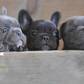 lindos caninos barrigones entrega inmediata de 59 dias