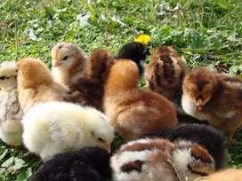 Venta de pollitos criollos