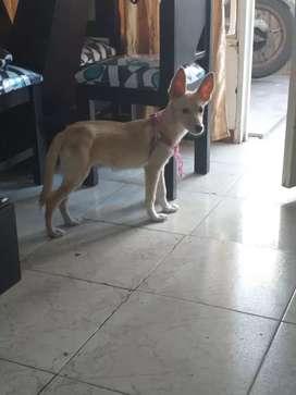 Adopción de perrita lobo enrazada con labrador