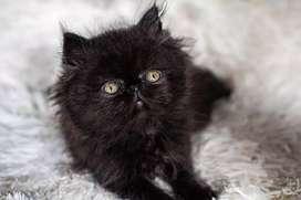 Hermoso gato persa extremo