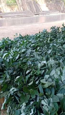 Se envia eucalipto manzanilla al pormayor