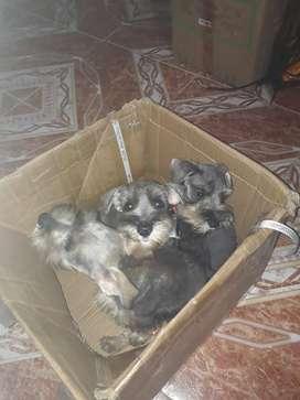 Cachorros schnauzer miniatura de 2 meses