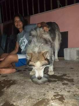Lobo siberiano adulto