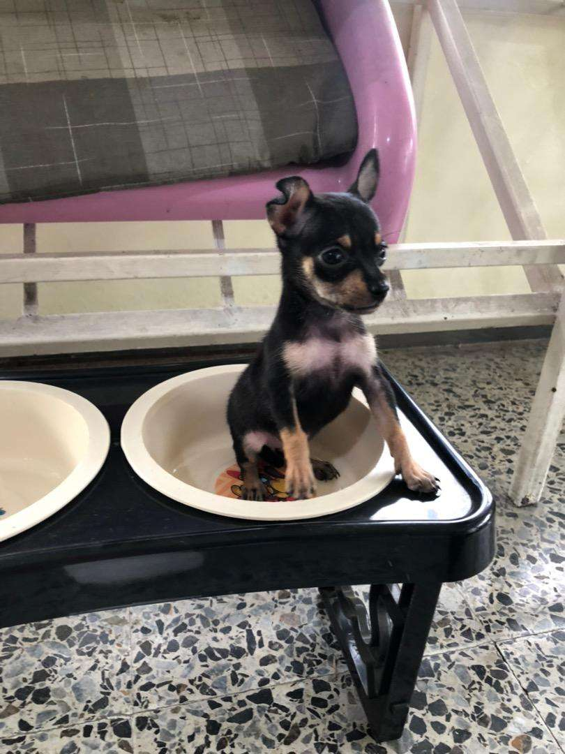 Real cachorro pincher miniatura 0