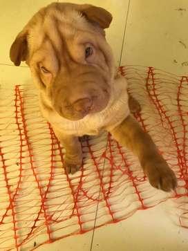 Se venden lindos cachorritos sharpei en la ciudad de Arequipa
