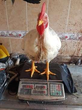 pollo semicrioll