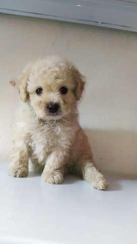 French Poodle Mini Toy Macho mes y medio