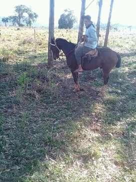 caballo pampa
