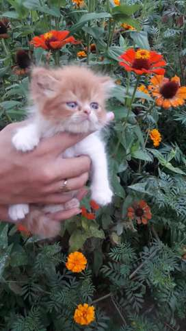 Bebé persa amarillo con blanco