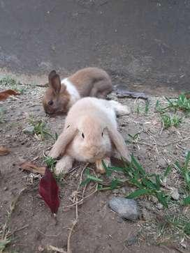 Conejos Cabeza de Leon Mini Lop Polish