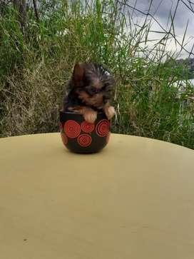Yorkshire Terrier tea Cup