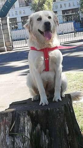 Labrador para monta