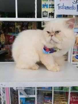 Gato persa blanco para monta