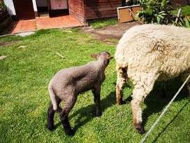 Venta ovejos de 3 meses