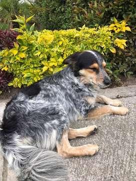 Perro muy dulce, en adopción responsable, tamaño mediano a pequeño, de mediana edad