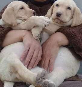 Cachorritos labradores