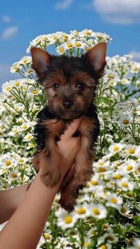 Cachorro Yorkshire Terrier Mini Macho